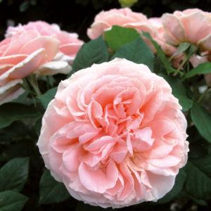 Vrtnarstvo Breskvar vrtnica Maxima Romantica