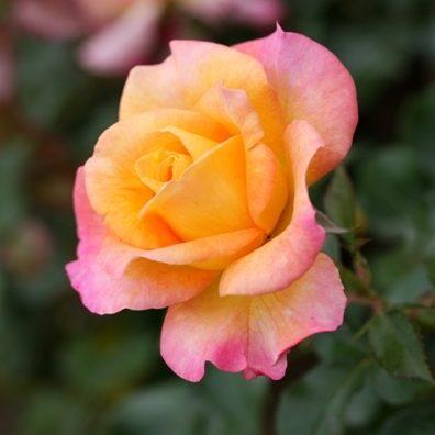 Vrtnarstvo Breskvar vrtnica Mme Meilland