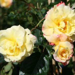 Vrtnarstvo Breskvar vrtnica Moonlight