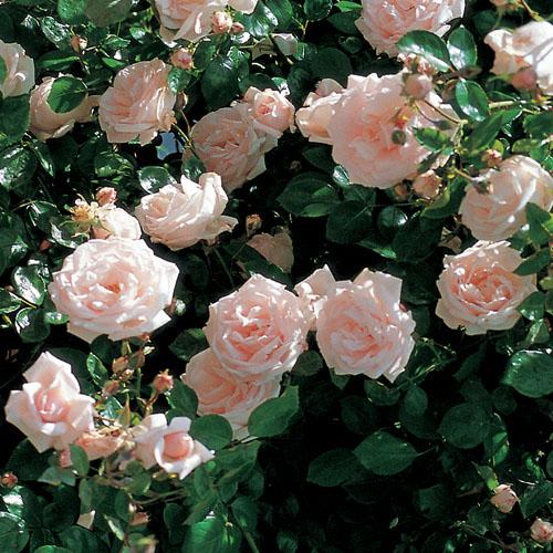 Vrtnarstvo Breskvar vrtnica New Dawn
