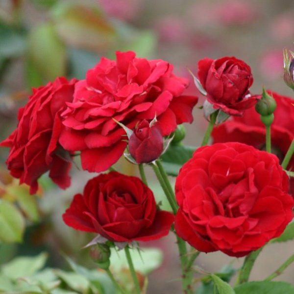 Vrtnarstvo Breskvar vrtnica Nina Weibull