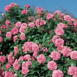 Vrtnarstvo Breskvar vrtnica Pink Swany