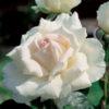 Vrtnarstvo Breskvar vrtnica Poker