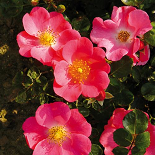 Vrtnarstvo Breskvar vrtnica Pretty Girl