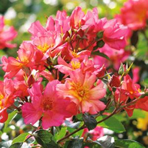 Vrtnarstvo Breskvar vrtnica Pretty Sunrise