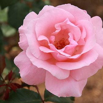 Vrtnarstvo Breskvar vrtnica Queen Elizabeth