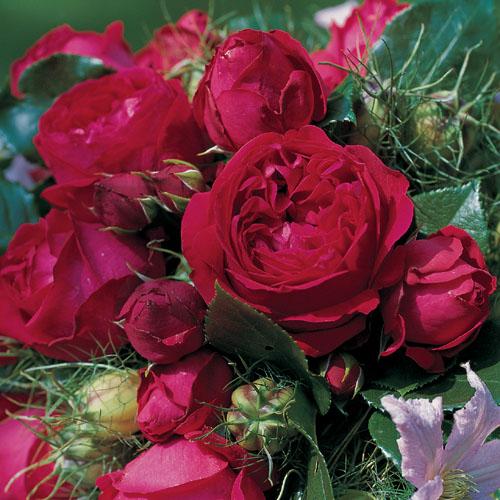 Vrtnarstvo Breskvar vrtnica Red Eden Rose