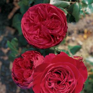 Vrtnarstvo Breskvar vrtnica Red Leonardo Da Vinci