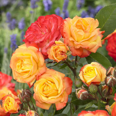 Vrtnarstvo Breskvar vrtnica Rumba
