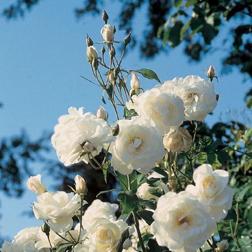 Vrtnarstvo Breskvar vrtnica Schneewittchen