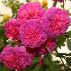 Vrtnarstvo Breskvar vrtnica Sir John Betjamin