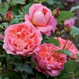 Vrtnarstvo Breskvar vrtnica Strawberry Hill