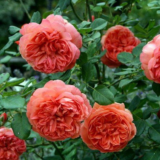Vrtnarstvo Breskvar vrtnica Summer Song