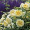 Vrtnarstvo Breskvar vrtnica The Pilgrim