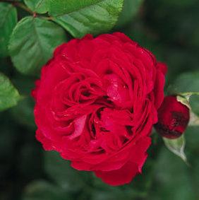 Vrtnarstvo Breskvar vrtnica Traviata