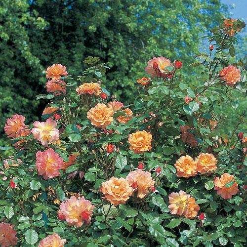Vrtnarstvo Breskvar vrtnica Westerland