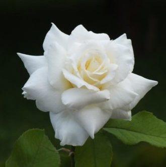 Vrtnarstvo Breskvar vrtnica White Symphony