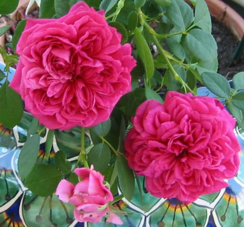 Vrtnarstvo Breskvar vrtnica William Shakespeare 2000