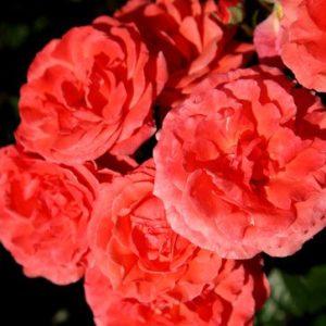 Vrtnarstvo Breskvar vrtnica Windekind