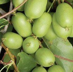 Actinidia ambrosia -Vrtnarstvo Breskvar