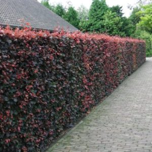 Fagus sylvatica f purpurea meja - Vrtnarstvo Breskvar