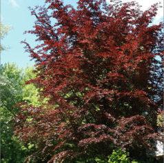 Fagus sylvatica purpurea latifolia - Vrtnarstvo Breskvar
