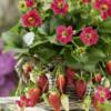 Fragaria x ananassa Ariba - Vrtnarstvo Breskvar