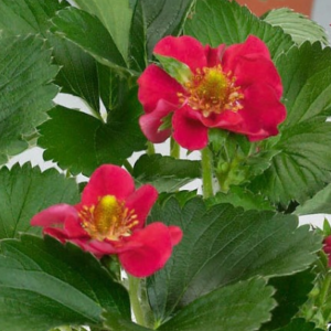 Fragaria x annanasa Ariba- Vrtnarstvo Breskvar