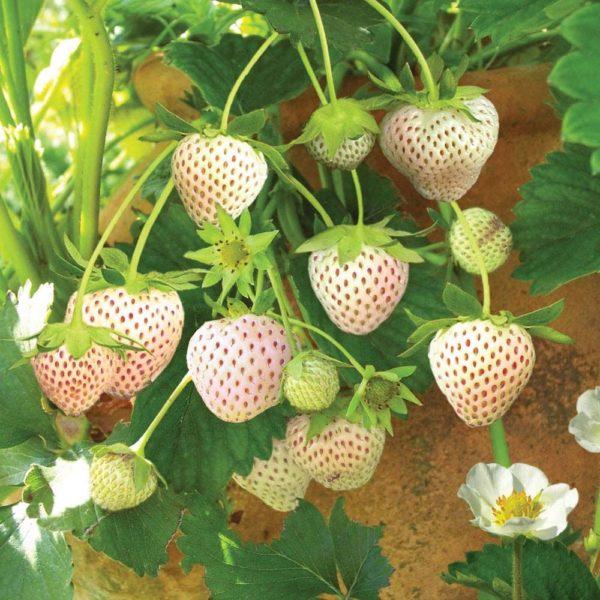 Fragaria x ananasa Snow White - Vrtnarstvo Breskvar