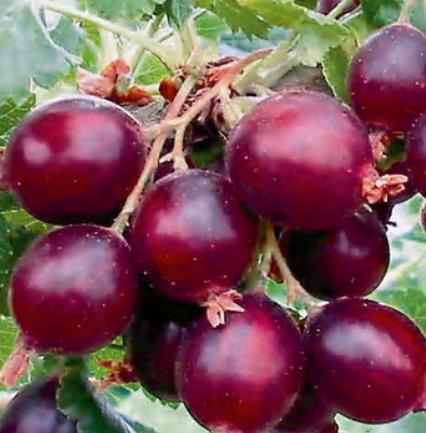 Ribes Nidigrolaria Dr. Bauer's Jonova - Vrtnarstvo Breskvar