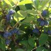 Lonicera kamtschatica 'Maries' (Tola) - Vrtnarstvo Breskvar