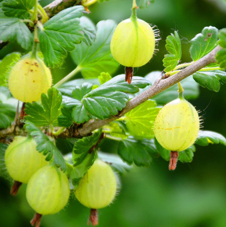 Ribes uva-crispa Hinnonmaki Gelb - Vrtnarstvo Breskvar