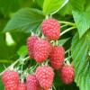 Rubus Idaeus 'Tulameen' - Vrtnarstvo Breskvar
