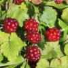 Rubus x stellarcticus 'Linda' - Vrtnarstvo Breskvar