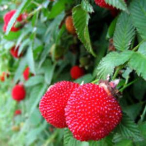 Rubus illecebrosus 'Asterix' - Vrtnarstvo Breskvar