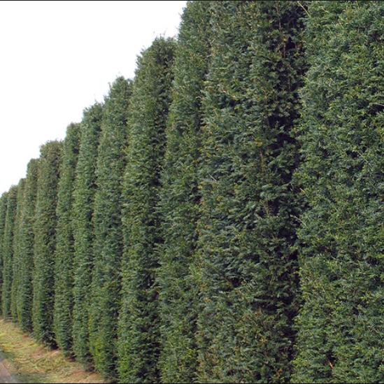 Taxus baccata - Vrtnarstvo Breskvar