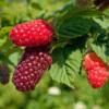 Rubus 'Buckingham Tayberry' ® - Vrtnarstvo Breskvar