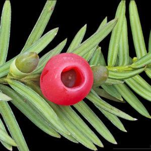 Vrtnarstvo Breskvar - Taxus baccata