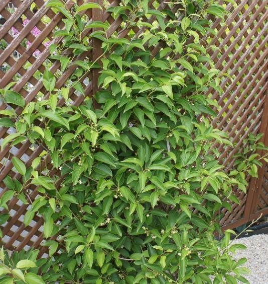 Acitinidia arguta 'Issai' - Vrtnarstvo Breskvar