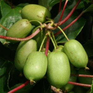 Vrtnarstvo Breskvar - Actinidia arguta Ambrosia Grande