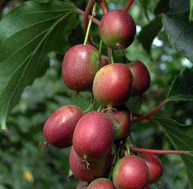 Vrtnarstvo Breskvar - Actinidia Deliciosa Ananasnaya