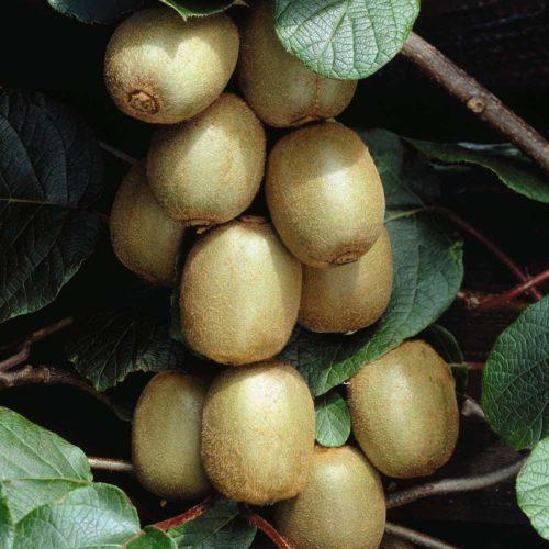 Vrtnarstvo Breskvar - Actinidia Deliciosa Hayward