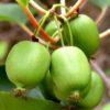 Vrtnarstvo Breskvar - Actinidia Deliciosa Issai
