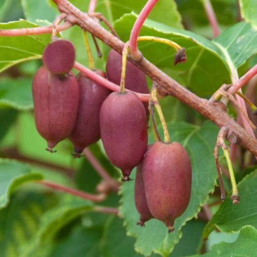 Vrtnarstvo Breskvar - Actinidia Deliciosa Jumbo