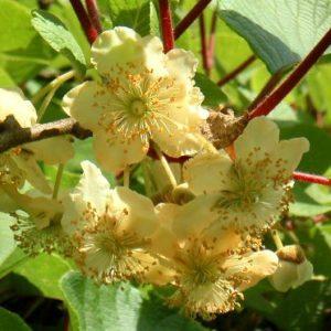 Vrtnarstvo Breskvar - Actinidia Deliciosa Matua