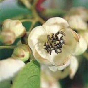 Vrtnarstvo Breskvar - Actinidia Deliciosa Nostino