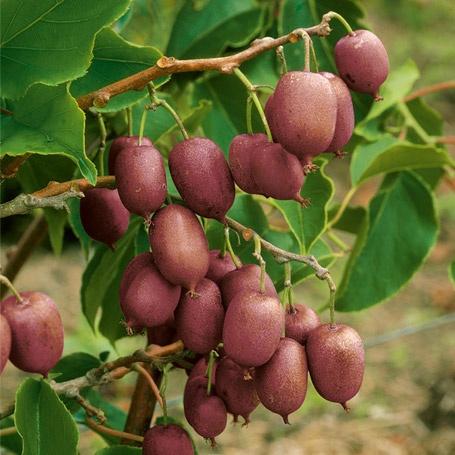 Vrtnarstvo Breskvar - Actinidia Deliciosa Purpurna Sadowa