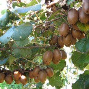 Vrtnarstvo Breskvar - Actinidia Deliciosa Soreli