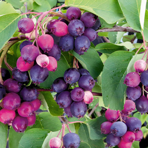 Vrtnartsvo Breskvar - Jagodičevje - Amelanchier Alnifolia Smoky