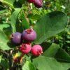 Vrtnartsvo Breskvar - Jagodičevje - Amelanchier Lamarckii
